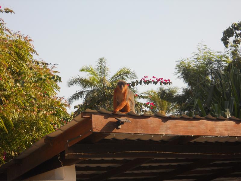 Our resident monkey.JP.JPG