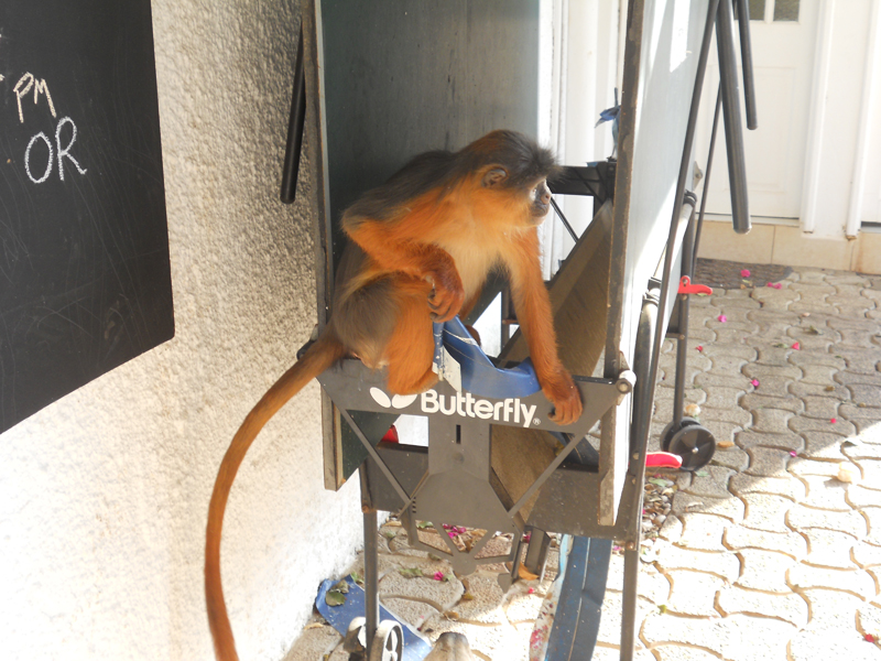 Resident monkey up to no good.JPG