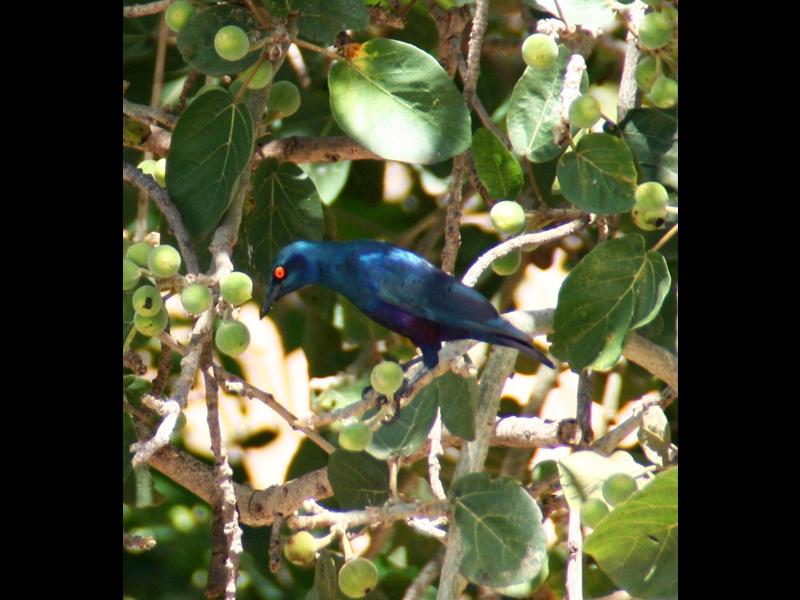 Wildlife Shiny Starling.jpg